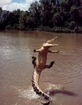 The Gator image