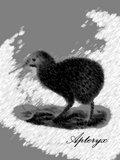 Apteryx image