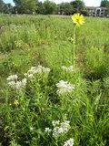 Silphium Blooms image