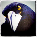 The Currawongs image