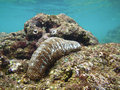 Sea Cucumber image