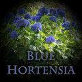 Blue Hortensia image