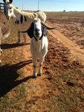 Manana Cowboy image