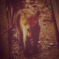 Bronze Fox image