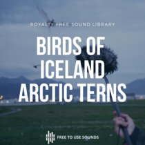 Birds Of Iceland ! Attacking Arctic Terns Shrills & Scream Sounds cover art
