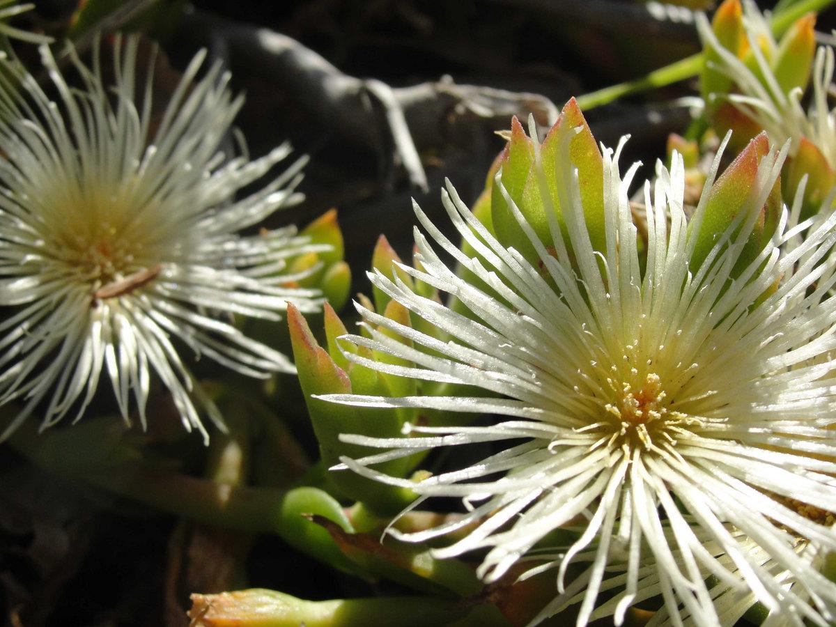 Kanna: a flower that will adorn any garden 51