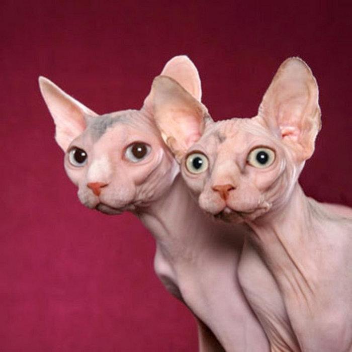 Картинки прикольные про котов лысых