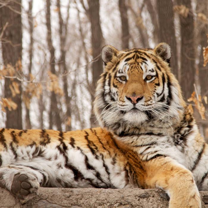 bengal tiger movie download hd utorrent mubamobit