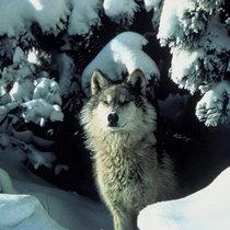 Winter In the Animal Kingdom cover art