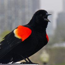 415 Blackbirds Are Back cover art