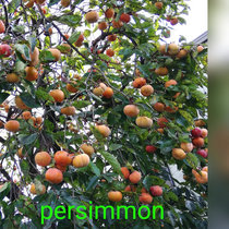 Michiru Aoyama「Persimmon」 cover art